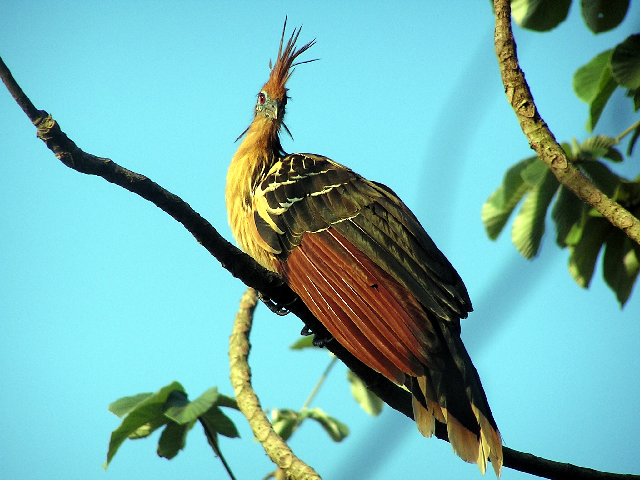 Hoatzin wallpaper