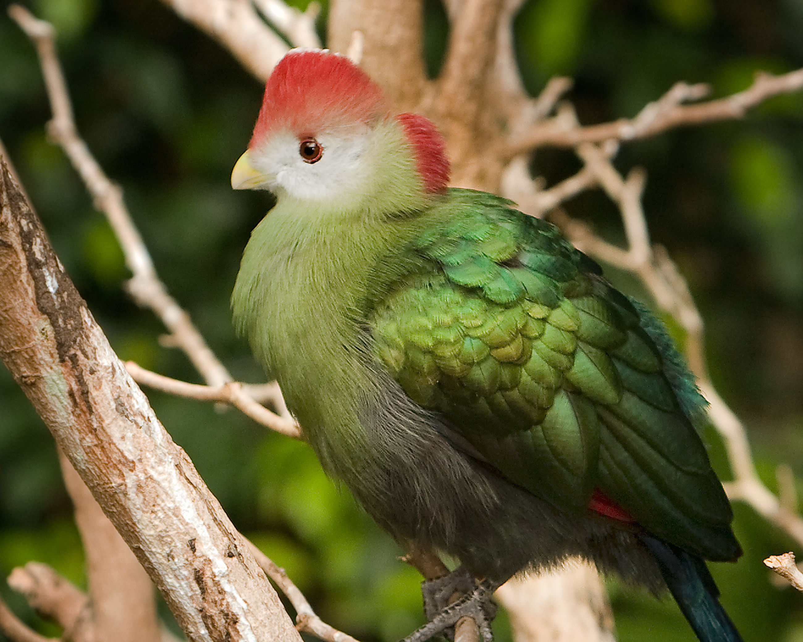 Red-crested Turaco wallpaper