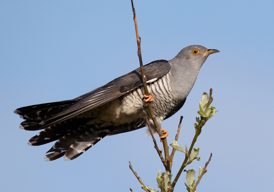 Common Cuckoo wallpaper