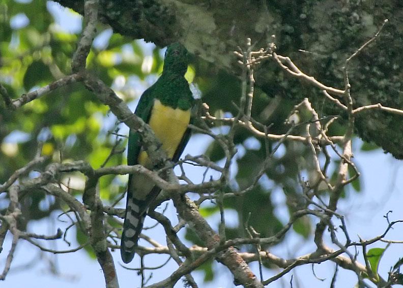 African Emerald Cuckoo wallpaper