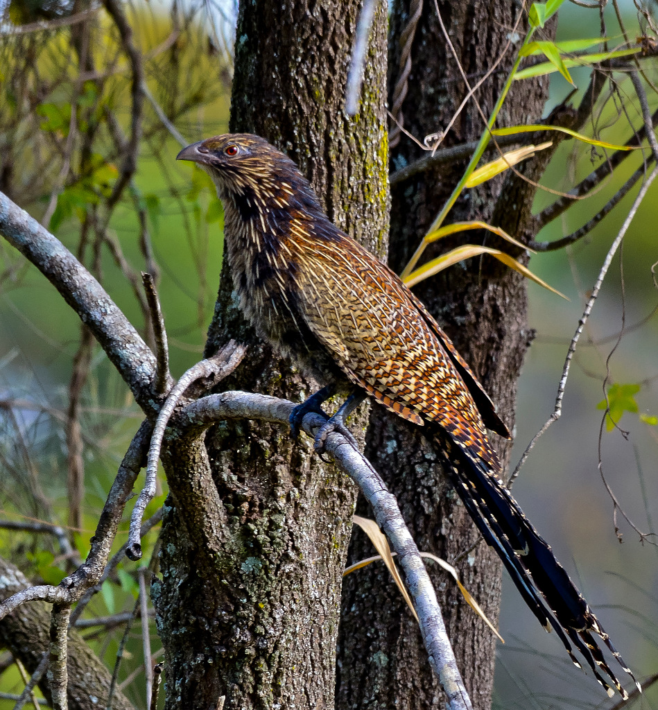 Pheasant Coucal wallpaper