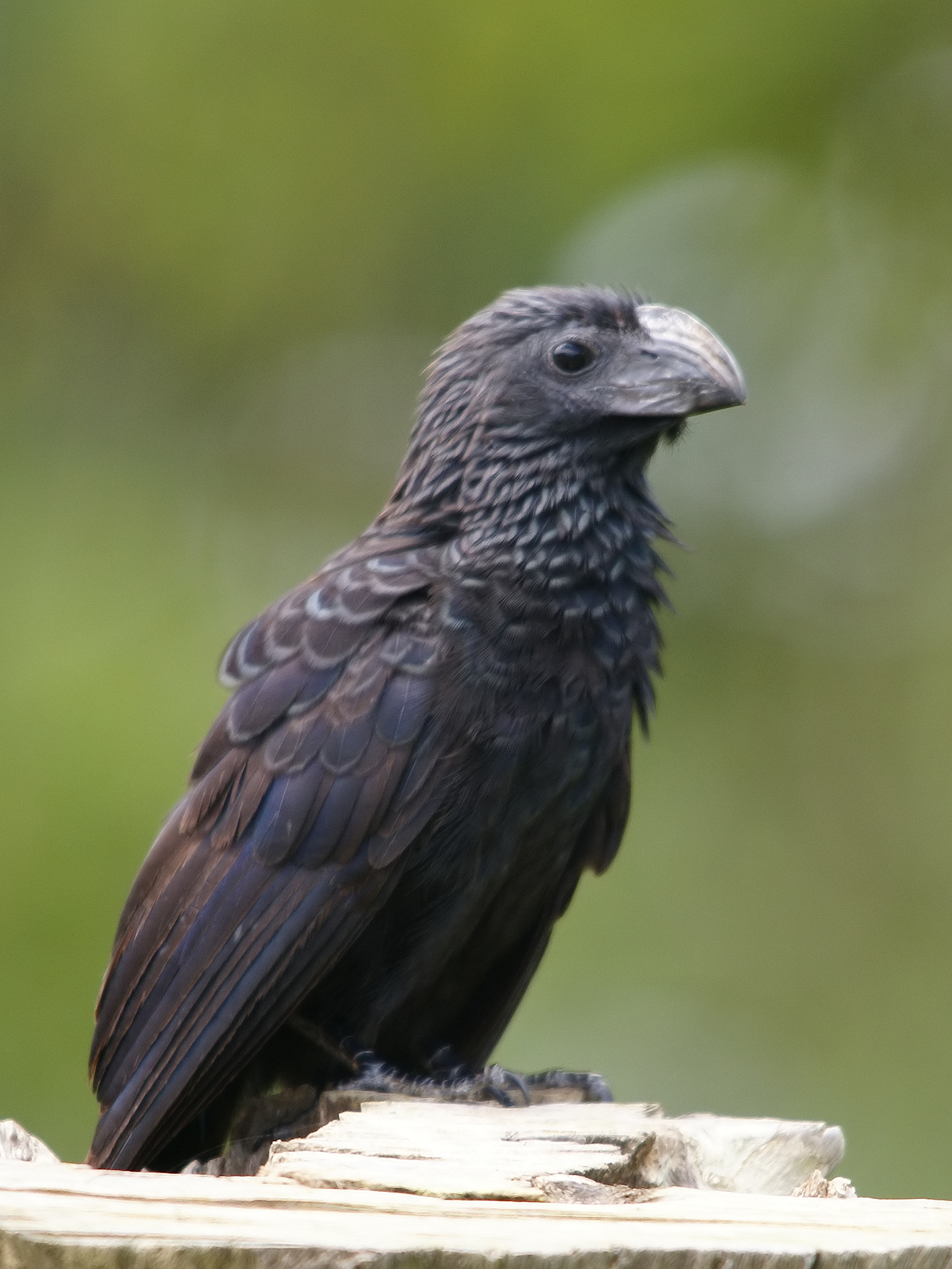 Groove-billed Ani wallpaper