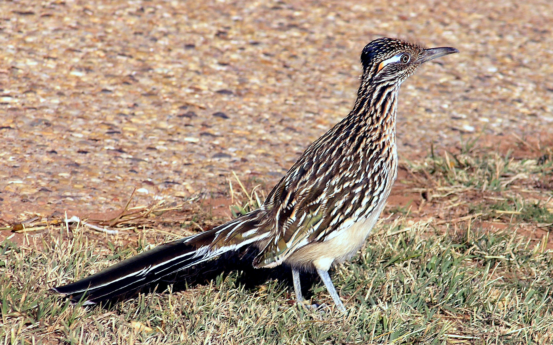 Greater Roadrunner wallpaper
