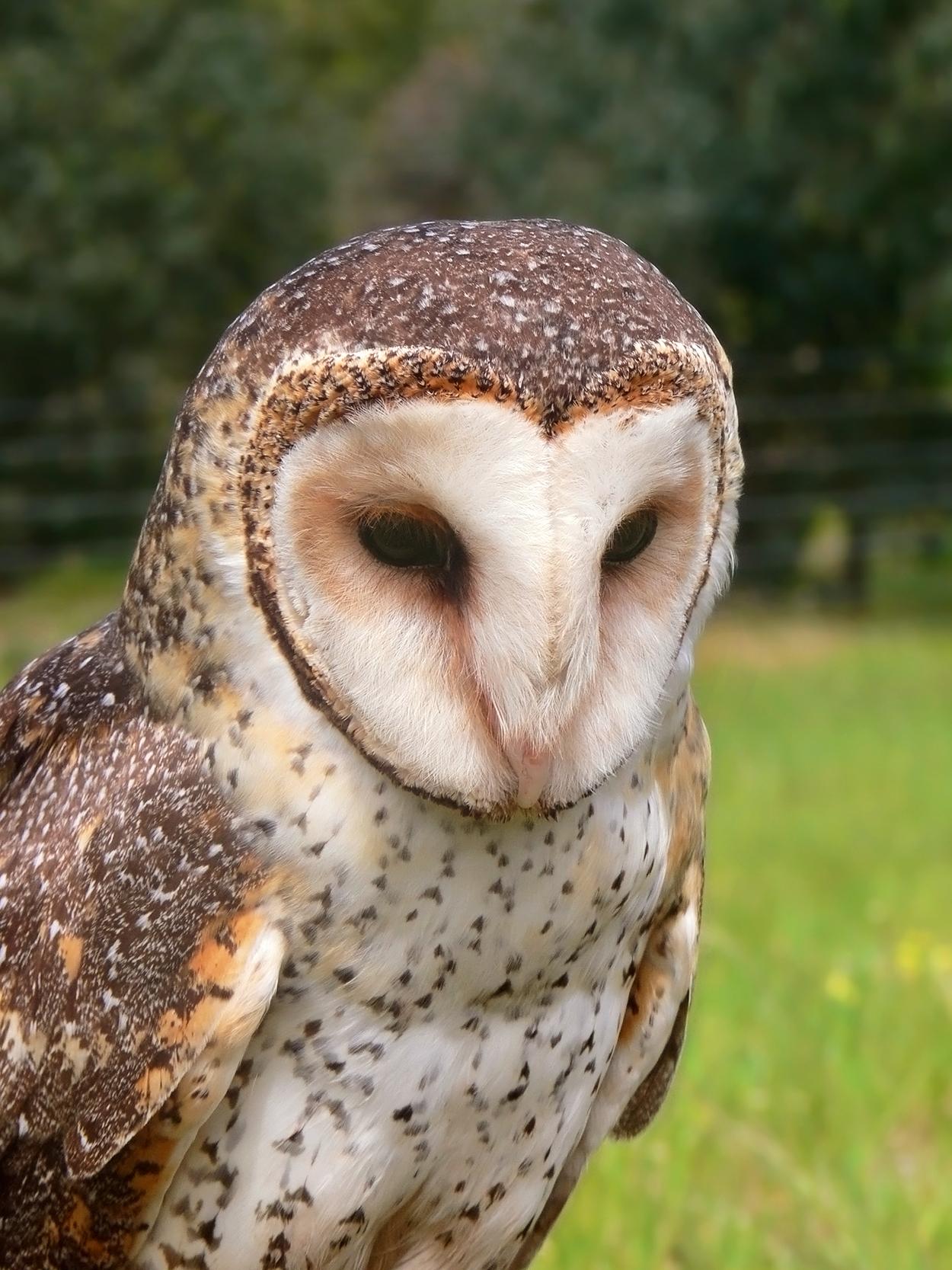 Australian Masked Owl wallpaper