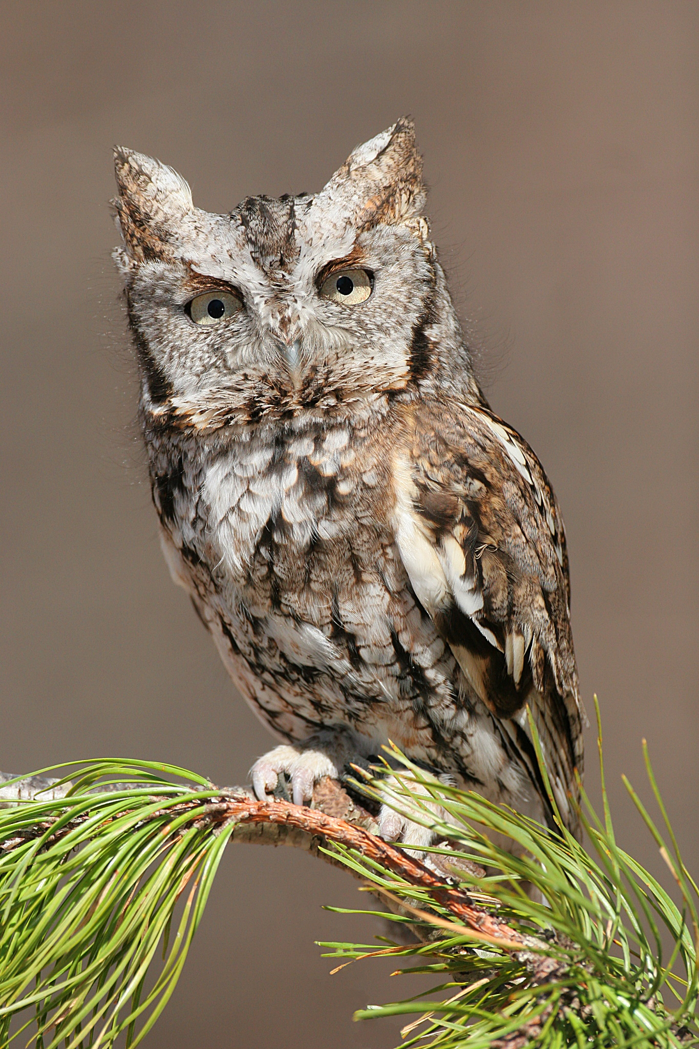 Eastern Screech Owl wallpaper