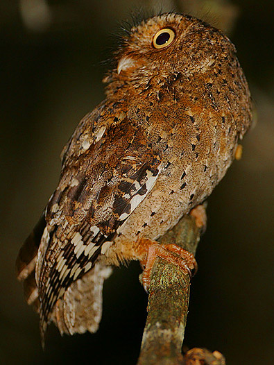Sokoke Scops Owl wallpaper
