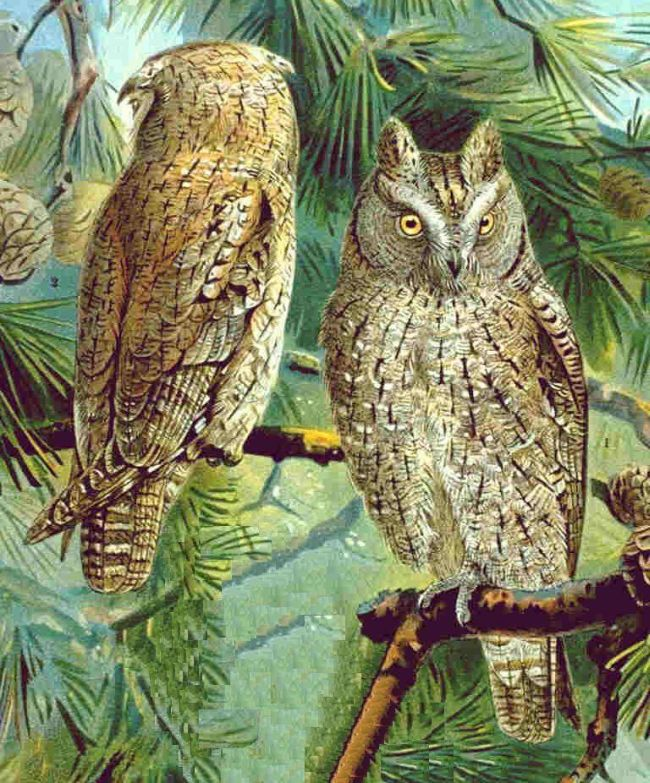 Eurasian Scops-owl wallpaper