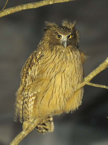 Blakiston's Fish-owl wallpaper