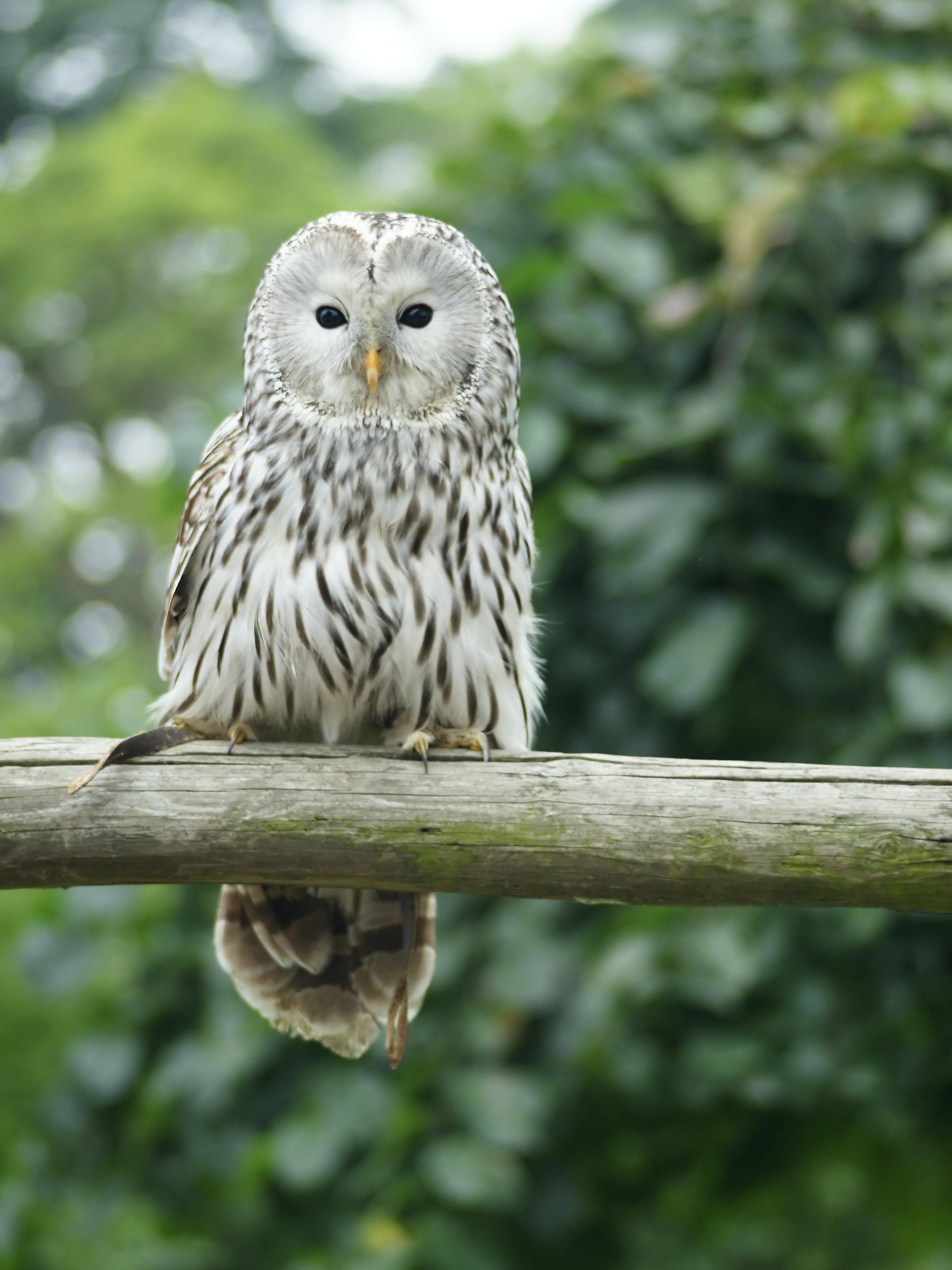 Ural Owl wallpaper