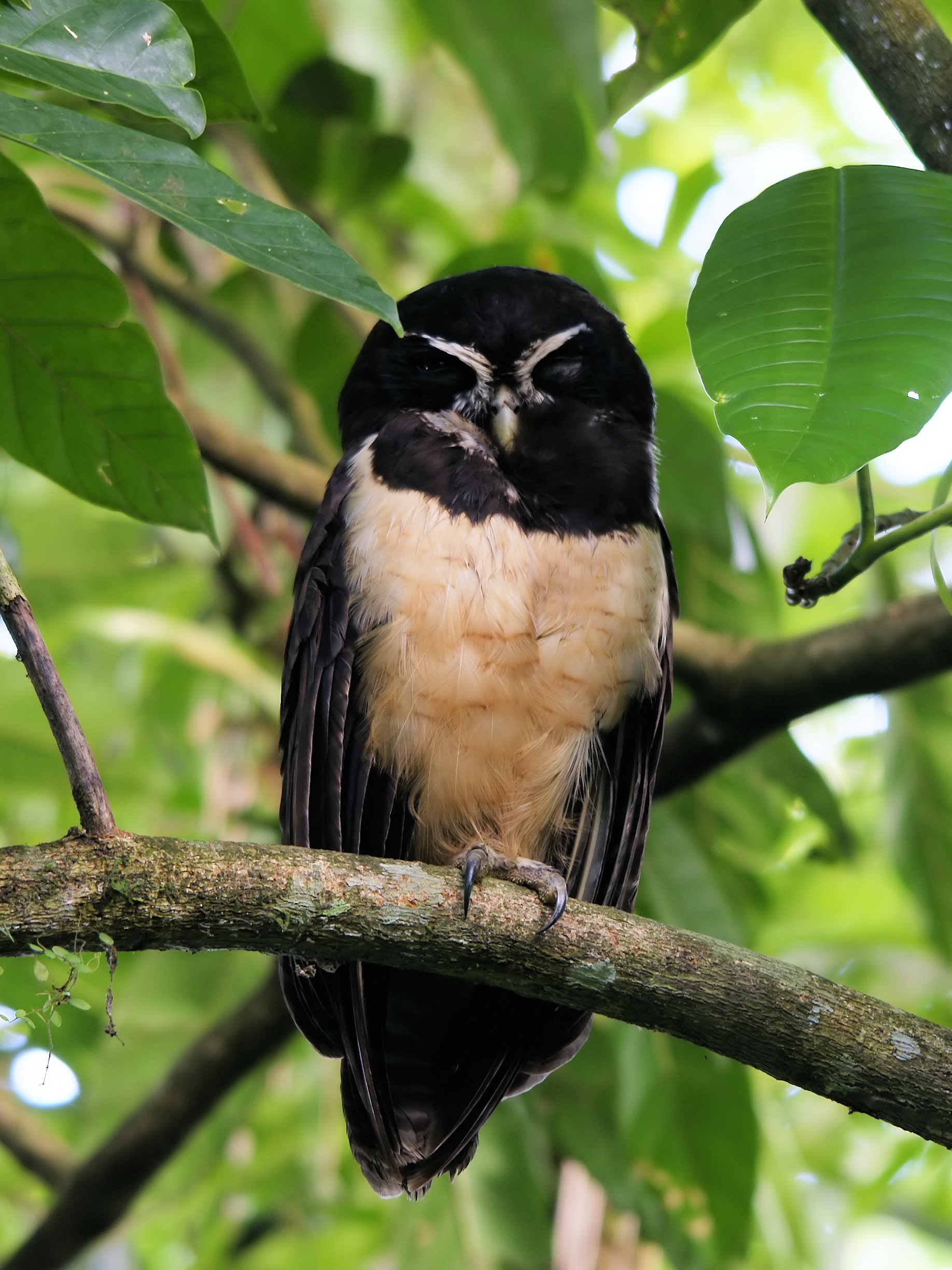 Spectacled Owl wallpaper