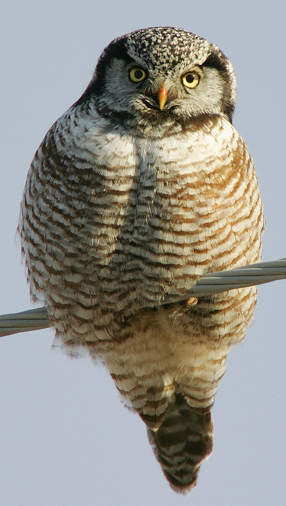 Northern Hawk-Owl wallpaper