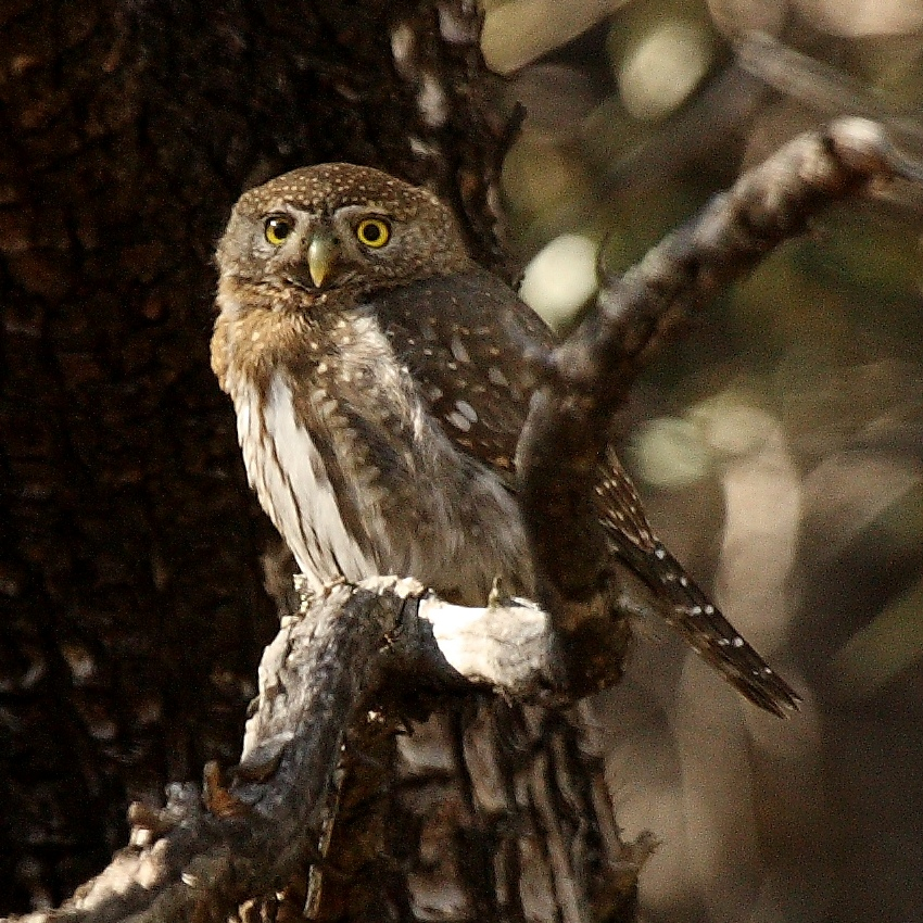 Mountain Pygmy Owl wallpaper
