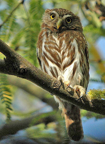 Ferruginous Pygmy Owl wallpaper