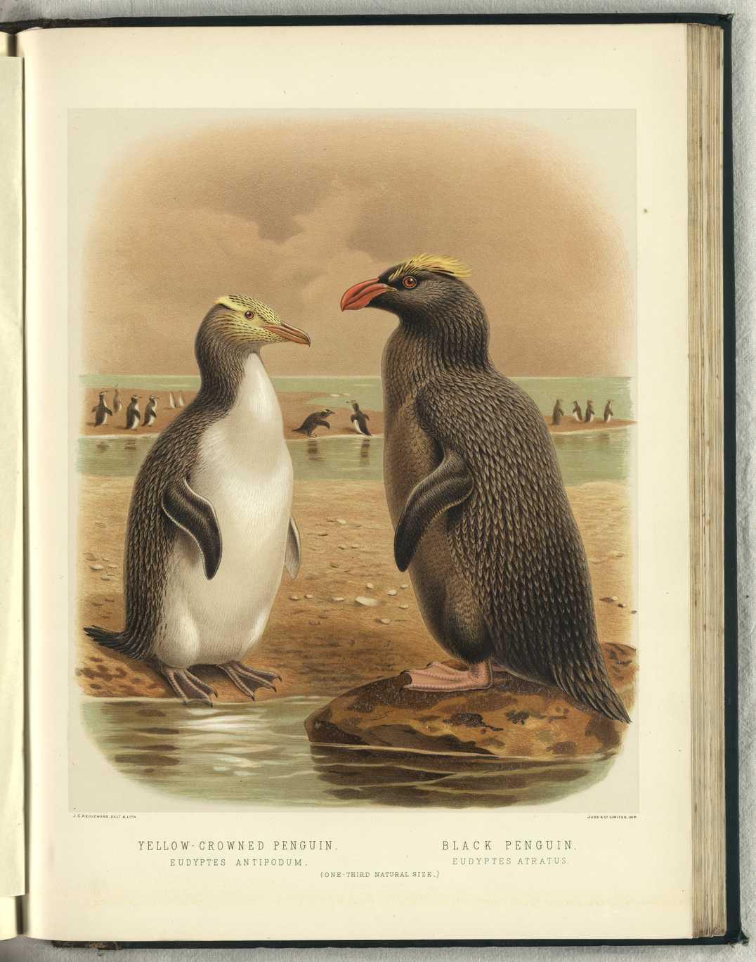 Erect-crested penguin wallpaper