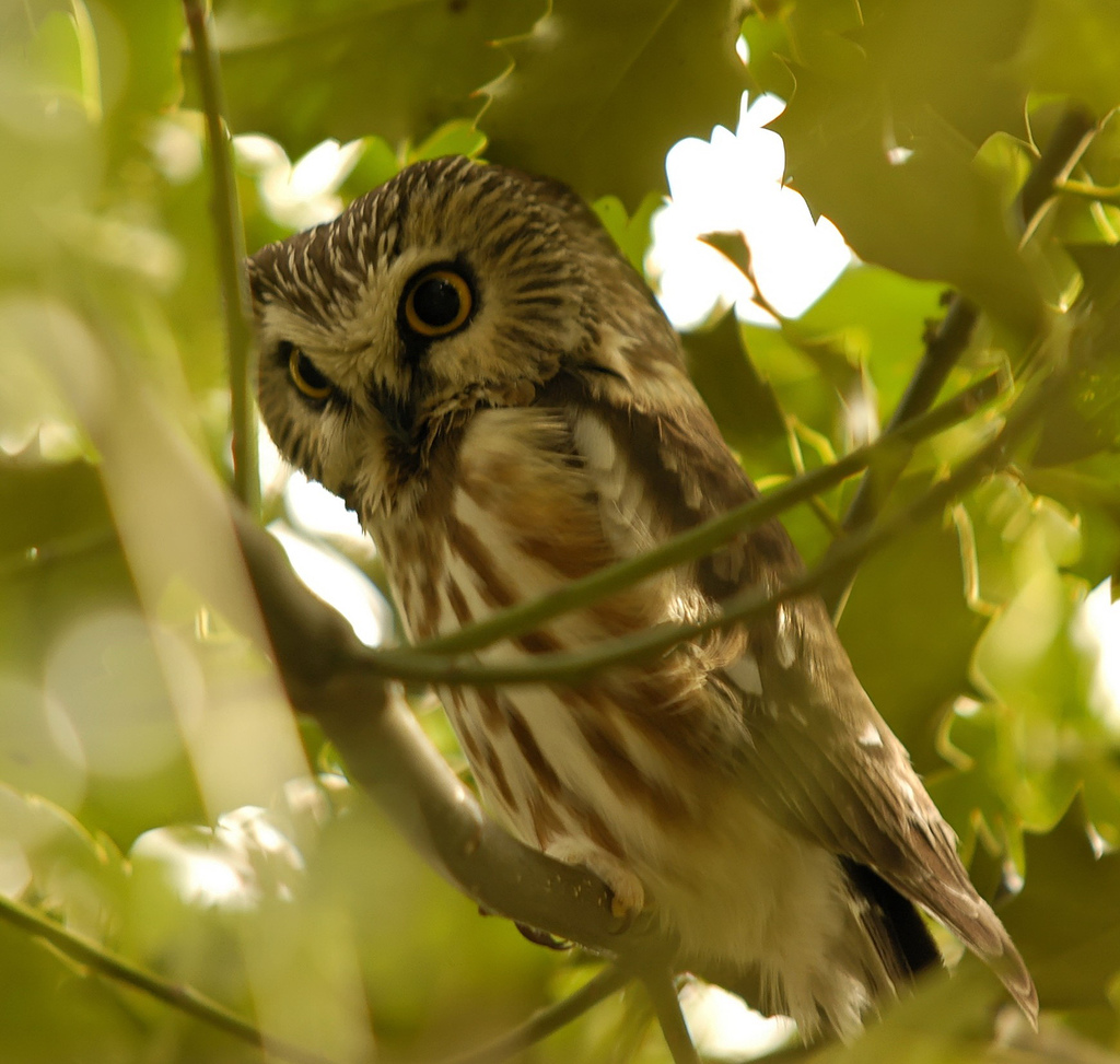 Northern Saw-whet Owl wallpaper