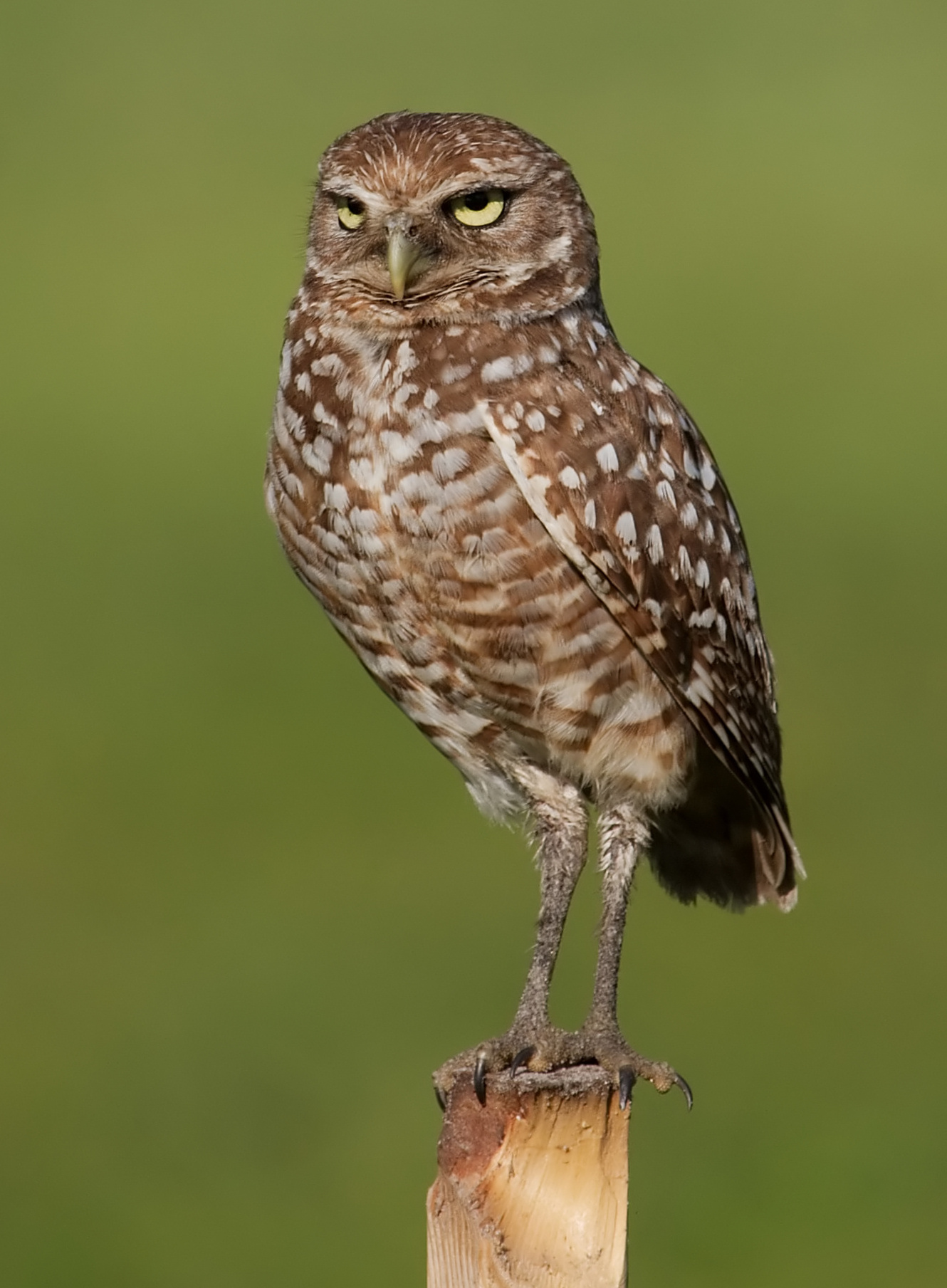 Burrowing Owl wallpaper
