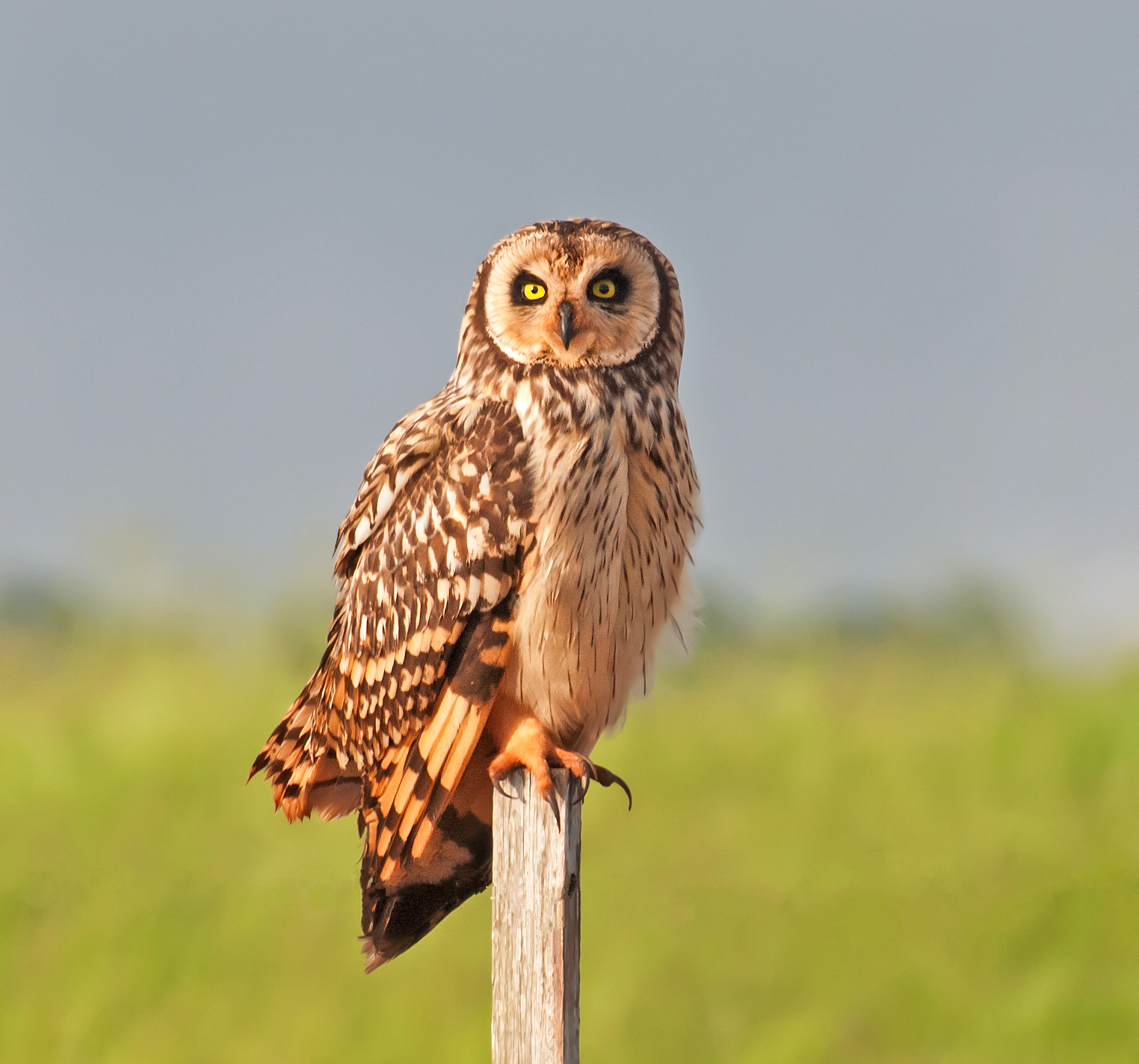Short-eared Owl wallpaper