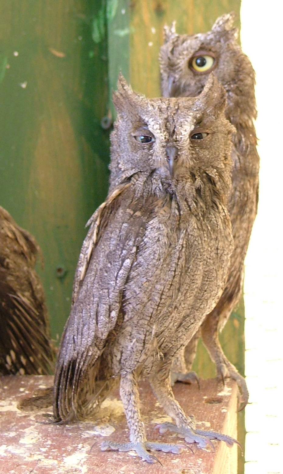 Scops Owl wallpaper