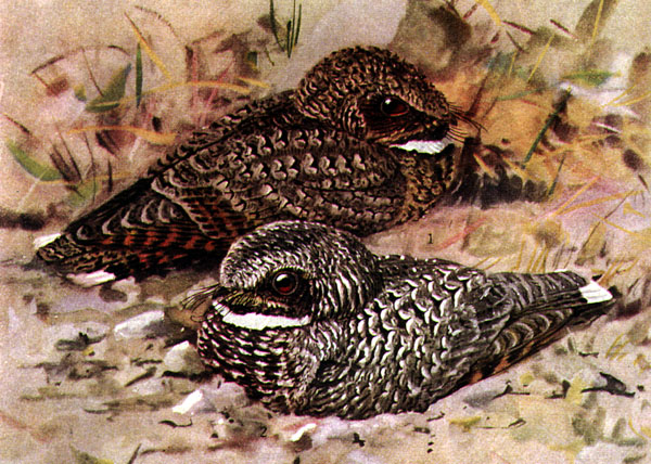 Common Poorwill wallpaper