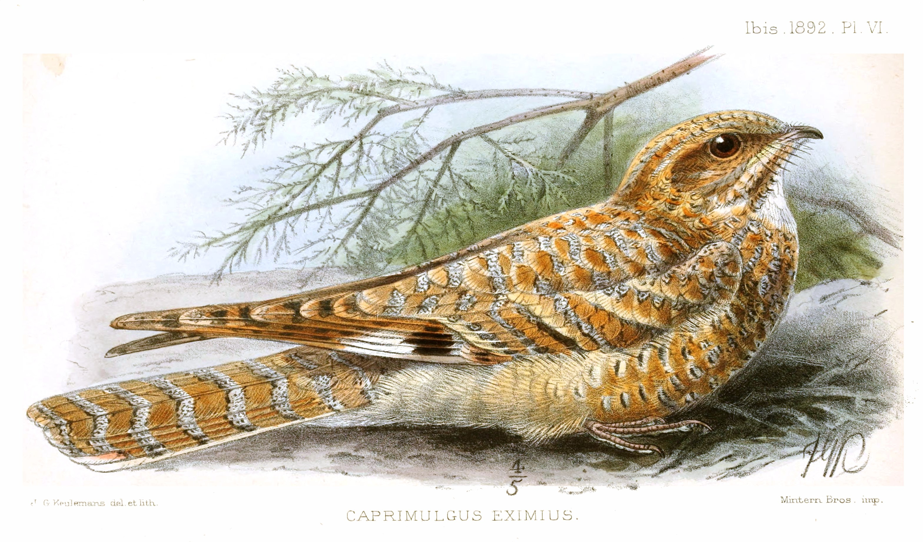 Golden Nightjar wallpaper