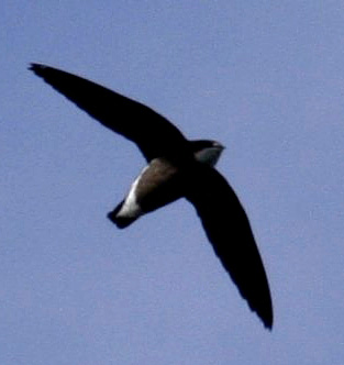 White-throated Needletail wallpaper