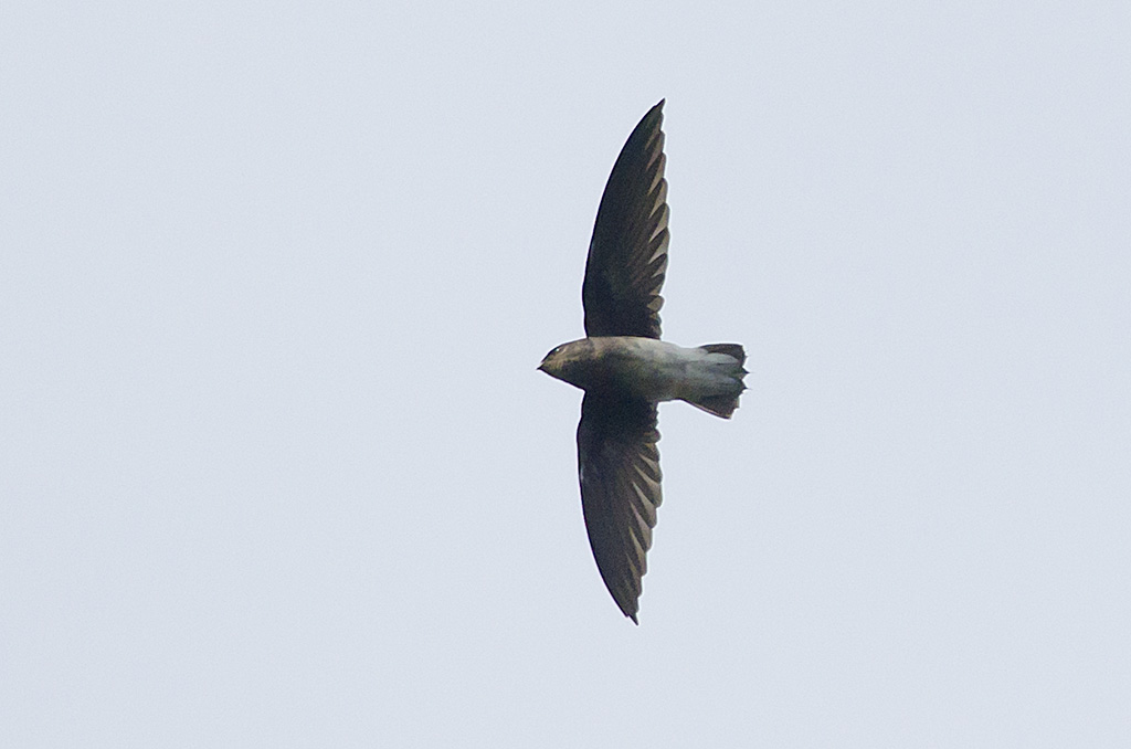 White-rumped Needletail wallpaper
