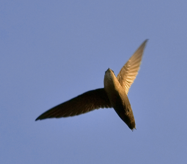 Chimney Swift wallpaper