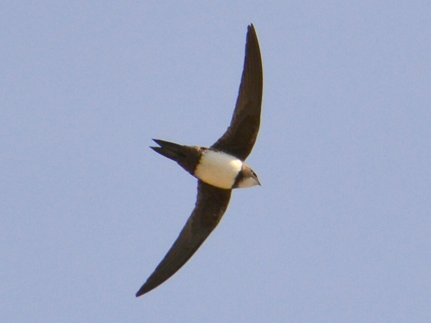 Alpine Swift wallpaper