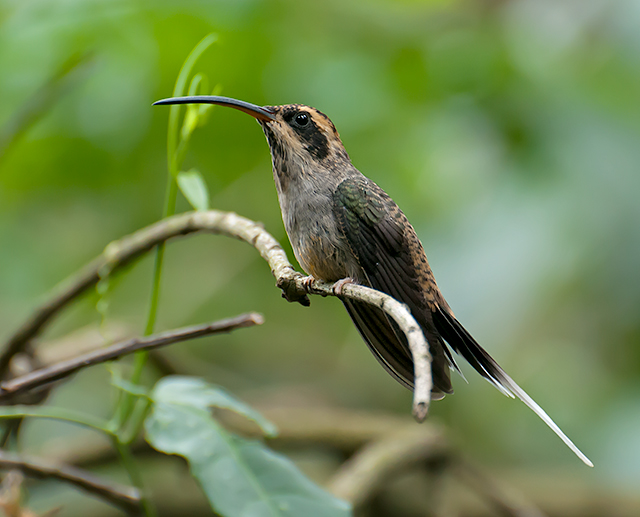 Scale-throated Hermit wallpaper