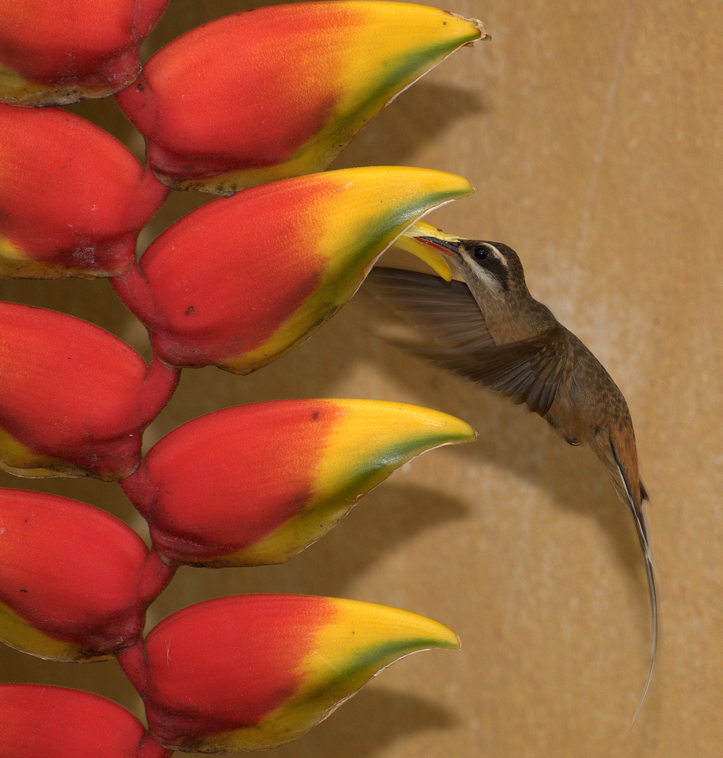 Planalto Hermit wallpaper