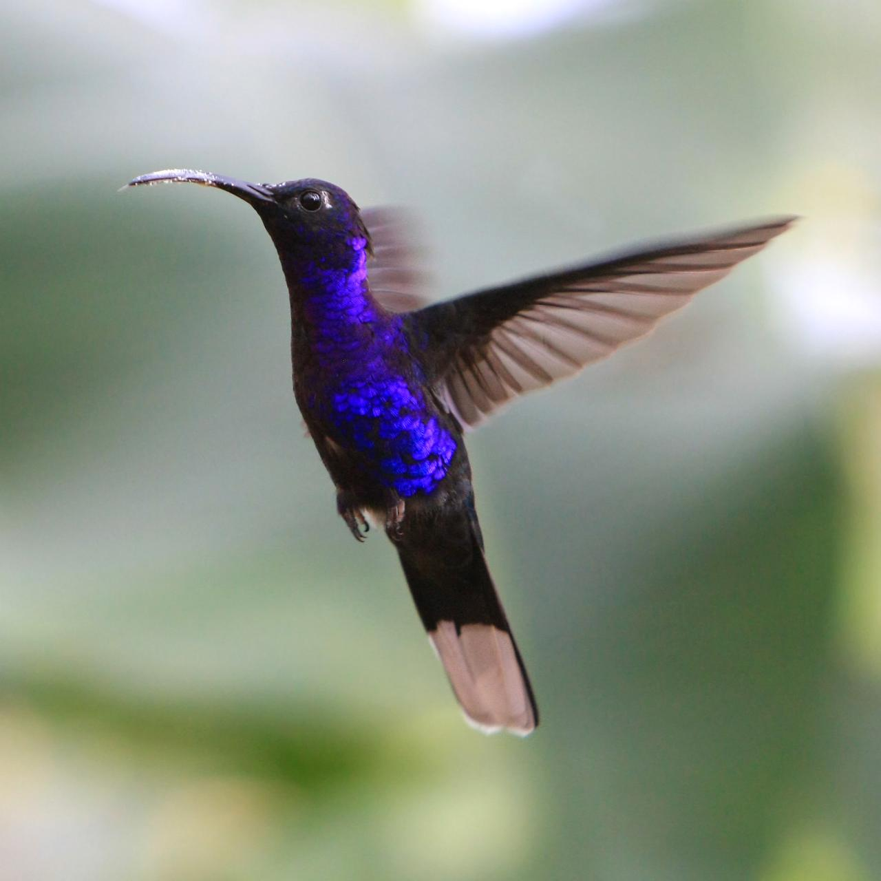 Violet Sabrewing wallpaper