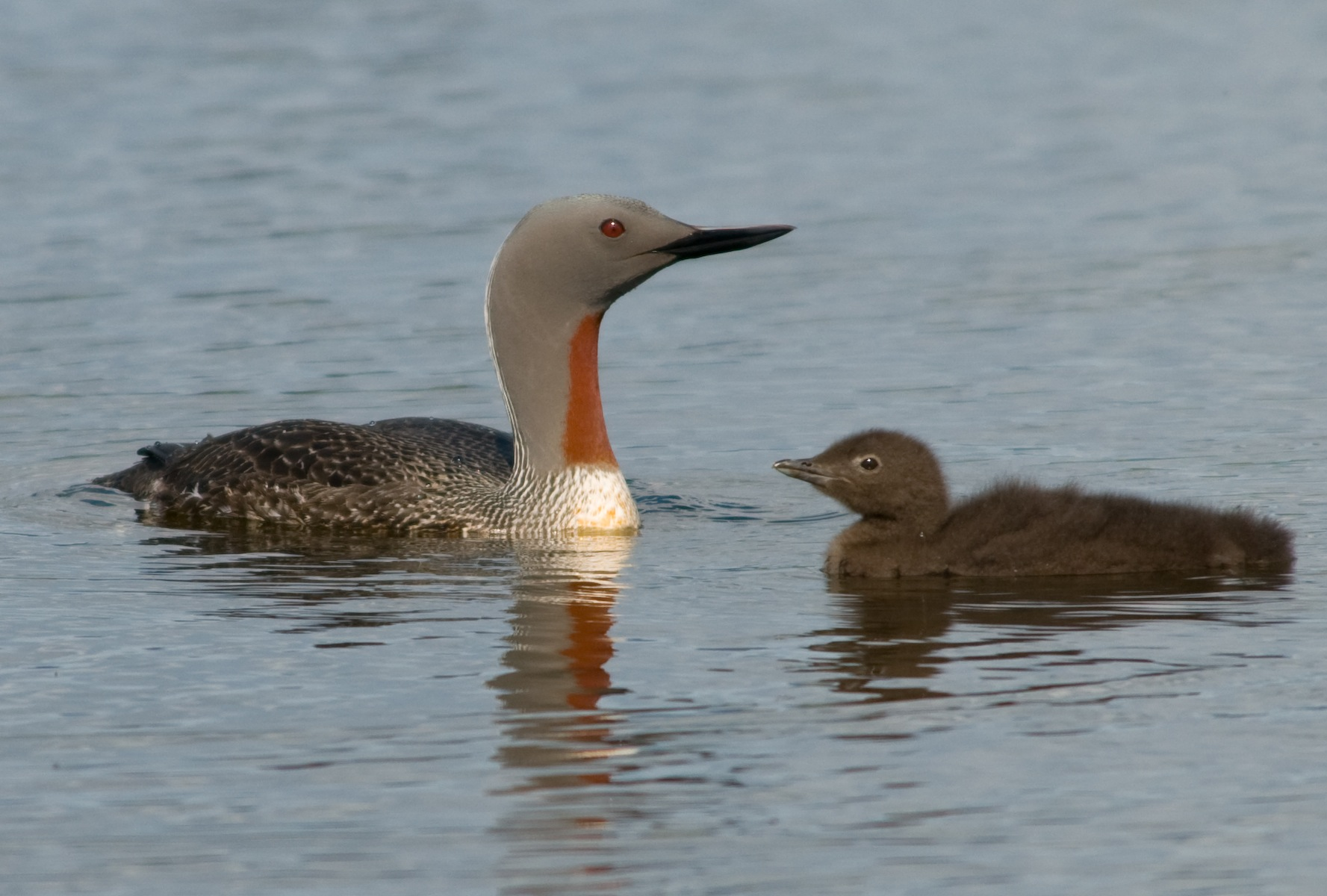 Red-throated Diver wallpaper
