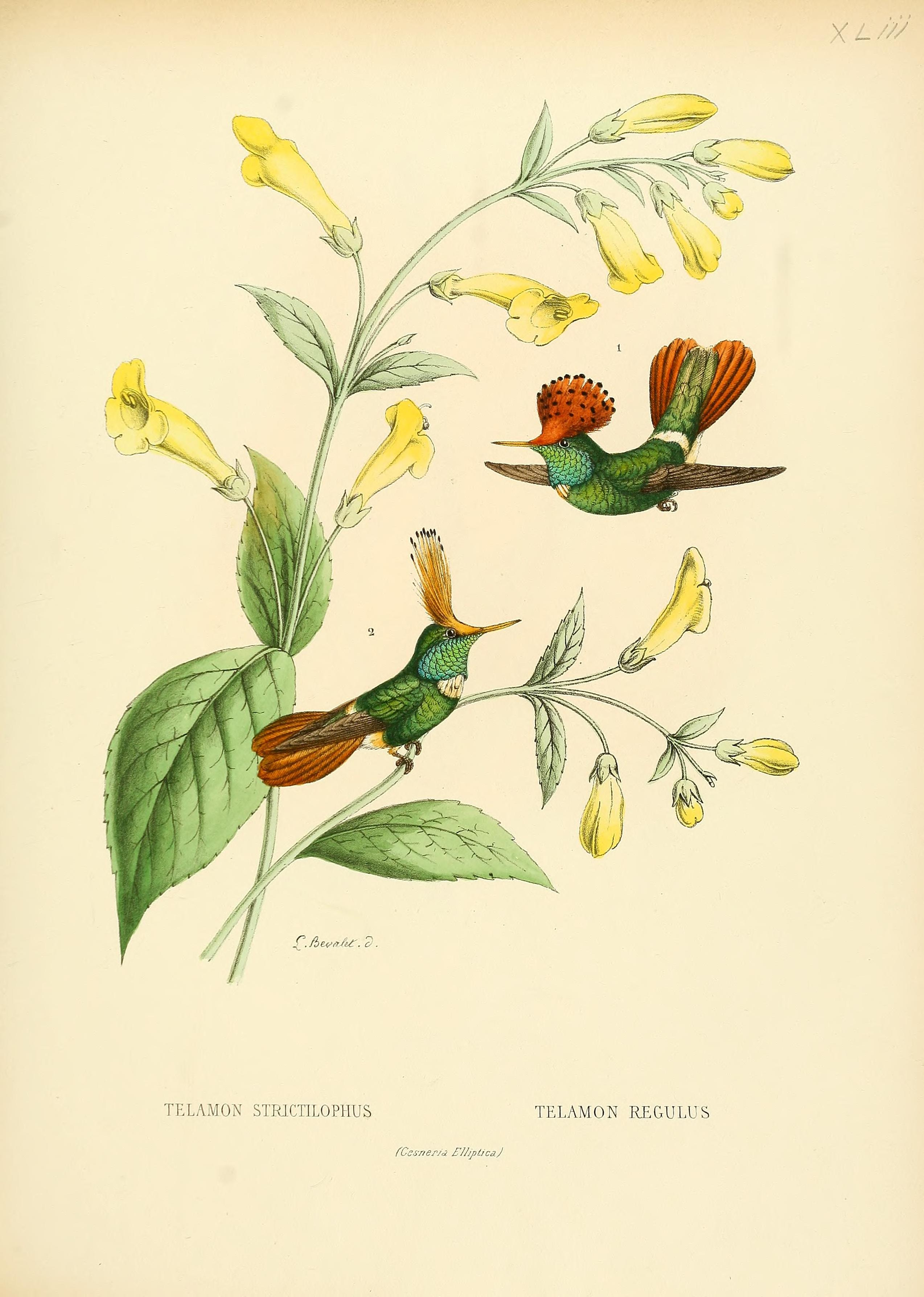 Rufous-crested Coquette wallpaper