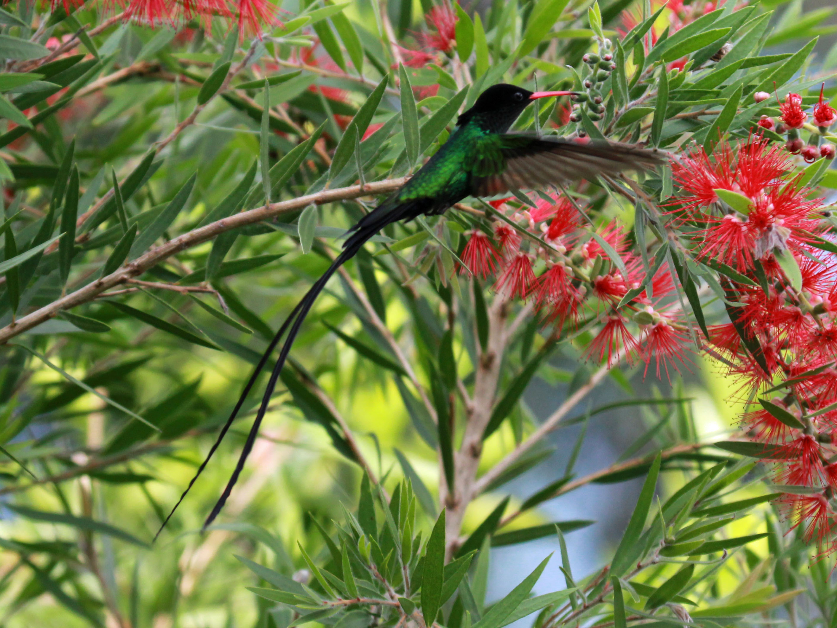 Red-billed Streamertail wallpaper