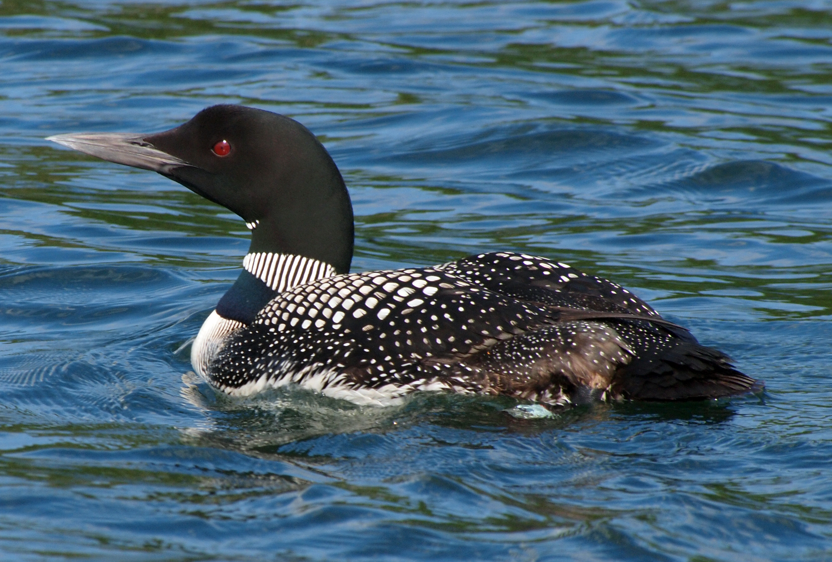 Great Northern Diver wallpaper