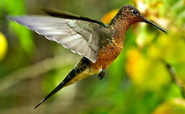 Giant Hummingbird wallpaper