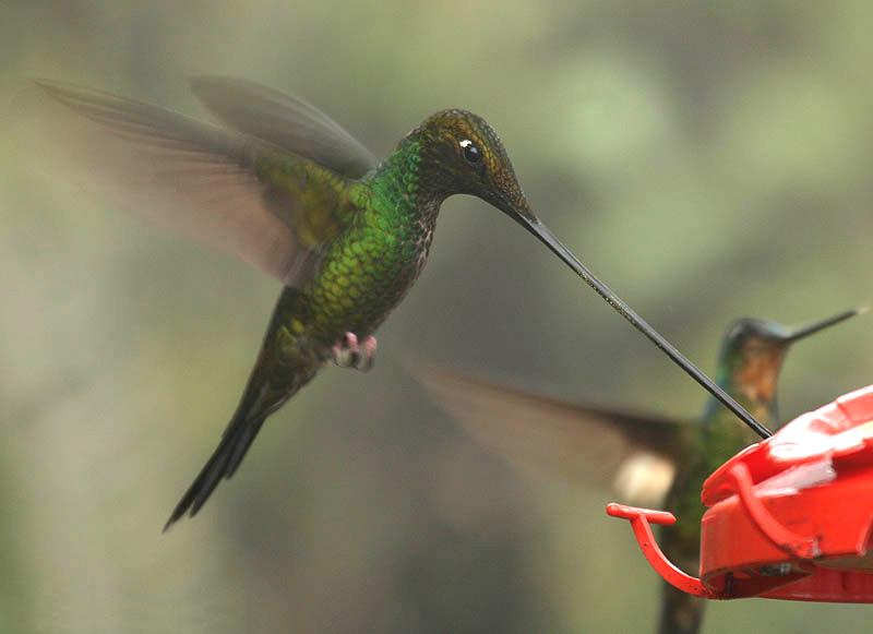 Sword-billed Hummingbird wallpaper