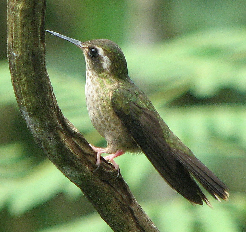 Speckled Hummingbird wallpaper