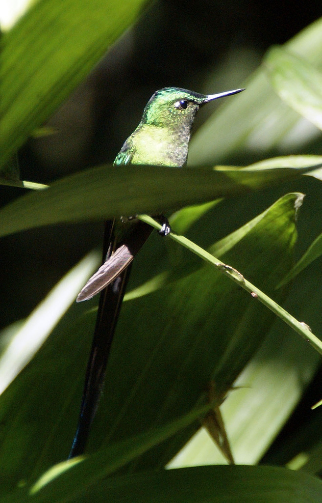 Long-tailed Sylph wallpaper