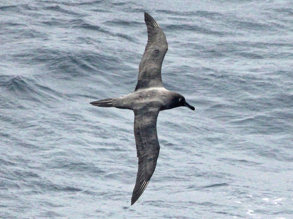 Sooty Albatross wallpaper