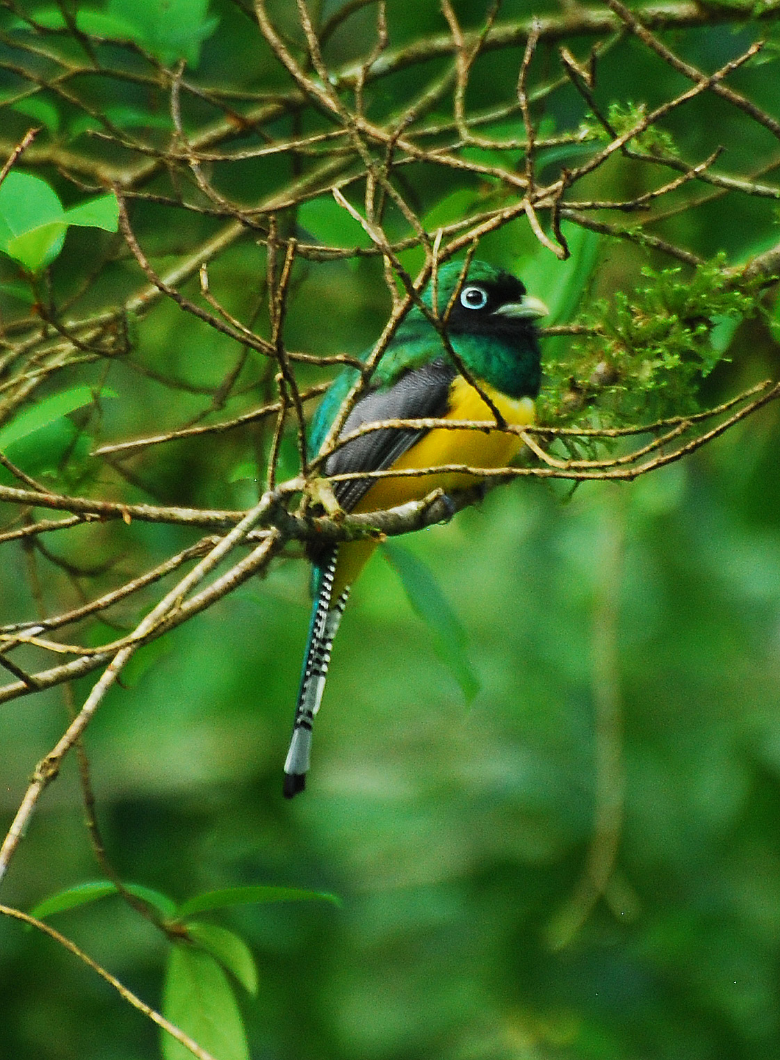 Black-throated Trogon wallpaper