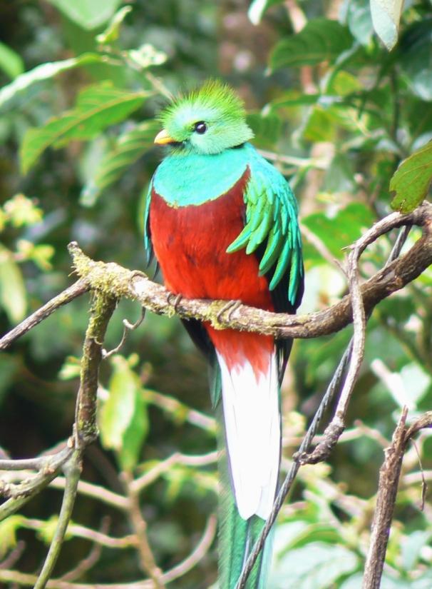 Resplendent Quetzal wallpaper