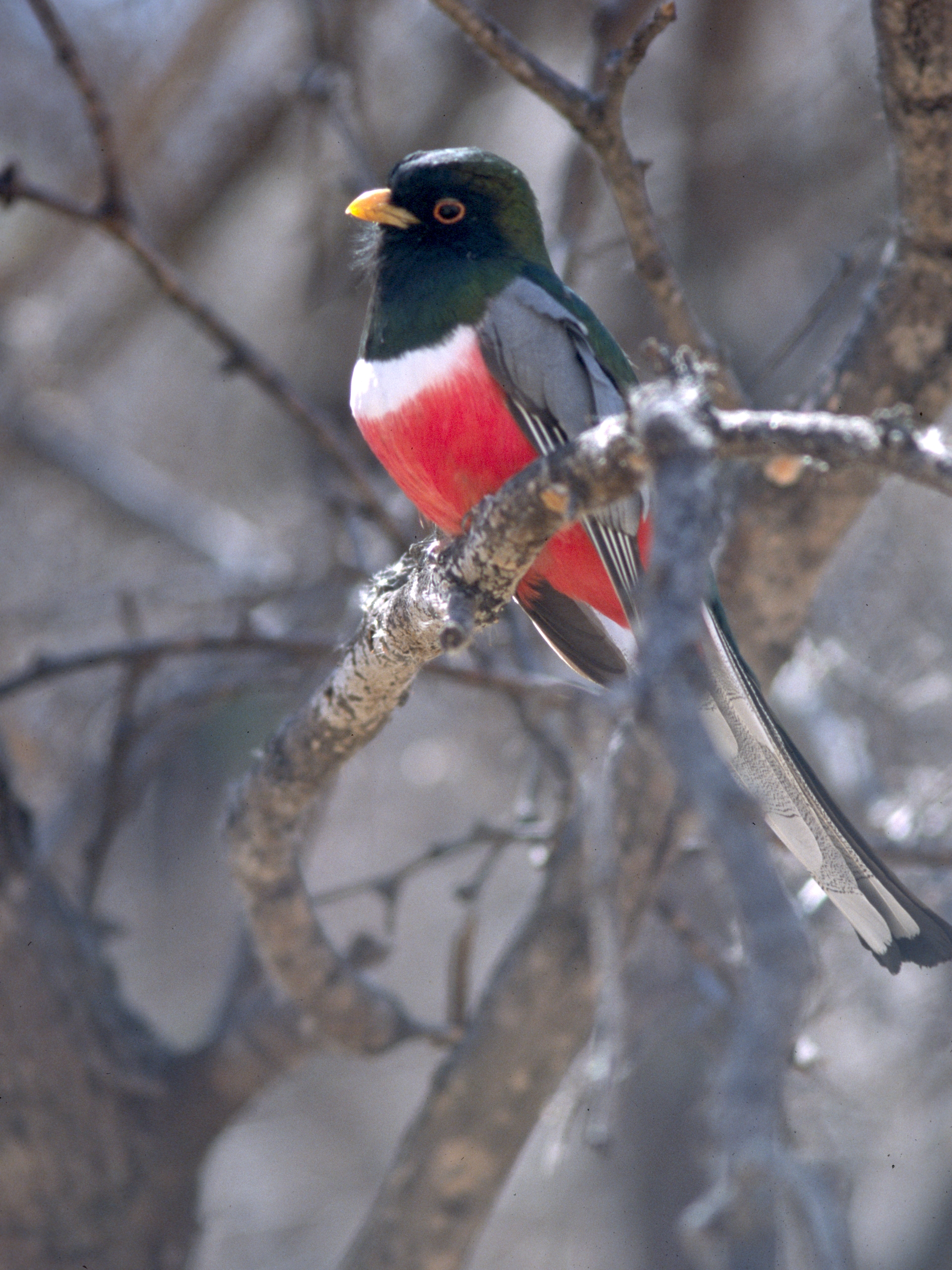Elegant Trogon wallpaper