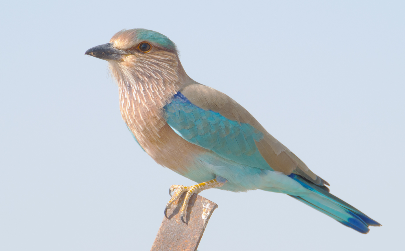 Indian Roller wallpaper