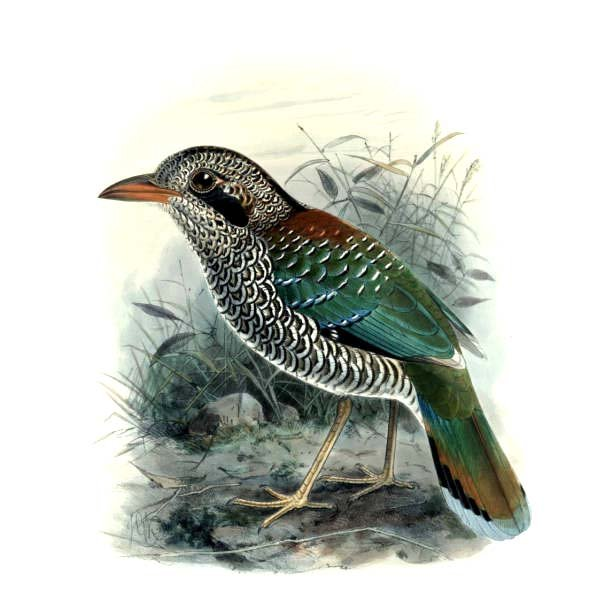 Scaly Ground Roller wallpaper