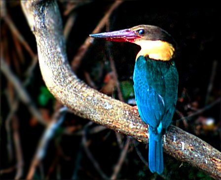 Stork-billed Kingfisher wallpaper