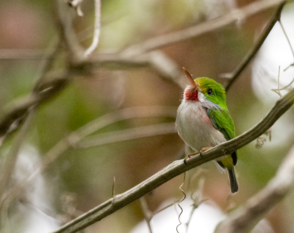 Cuban Tody wallpaper