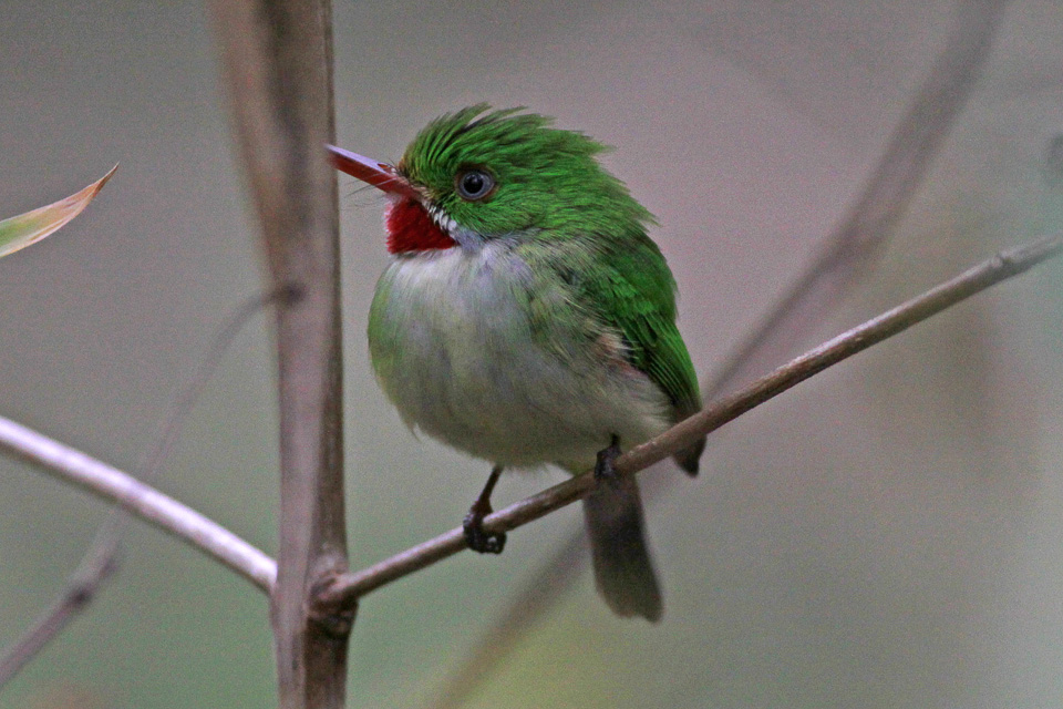 Jamaican Tody wallpaper