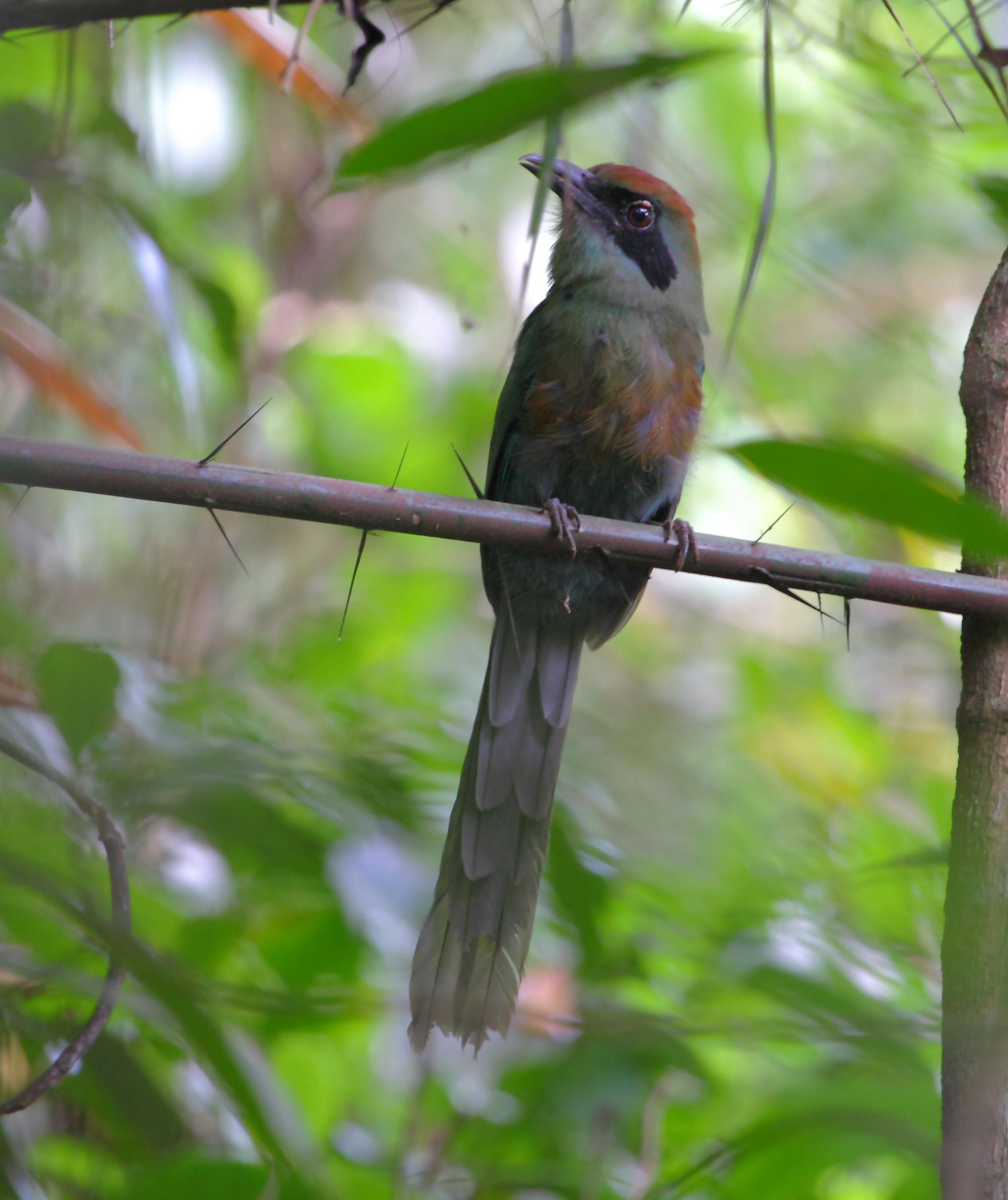 Rufous-capped Motmot wallpaper