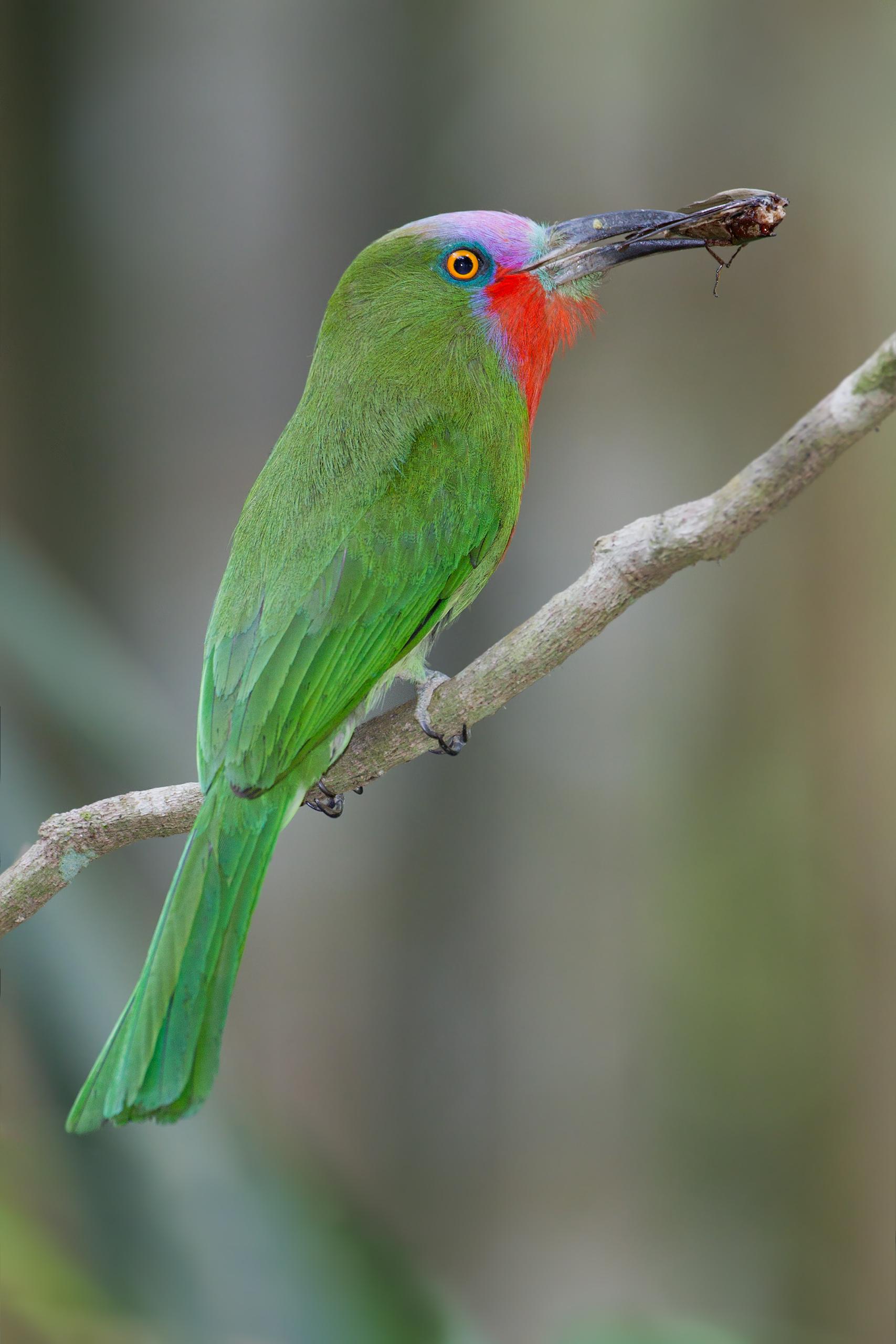 Red-bearded Bee-eater wallpaper